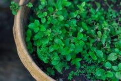 Munt in pot Royalty-vrije Stock Foto's