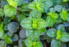 Munt verse groene patronen Als achtergrond Stock Foto's