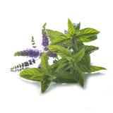 Muntbladeren en bloemen op witte achtergrond worden geïsoleerd die Royalty-vrije Stock Foto