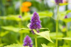 Muntbloem in zonnige tuin stock foto's