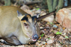 Muntiacus muntjak Stock Photos