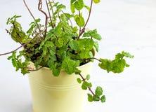 Muntinstallatie in een Kleine Planter - Aromatisch Eeuwigdurend Kruid royalty-vrije stock afbeeldingen