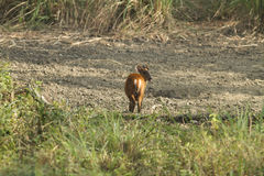 Muntjac在皮带Pha Phum国家公园 库存图片