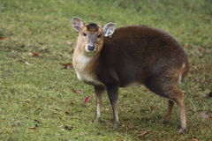 Muntjac Royalty Free Stock Photos