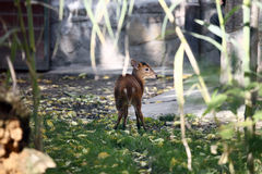 Muntjac deer Royalty Free Stock Photography
