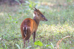 Muntjac deer back profile Stock Image