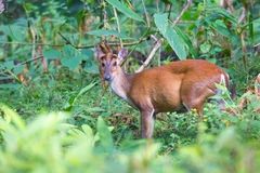 Muntjac deer Royalty Free Stock Image