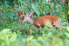 Muntjac deer closeup Royalty Free Stock Photo
