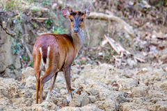 Muntjac deer closeup Stock Photo