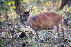 Muntjac deer closeup forraging Stock Photography