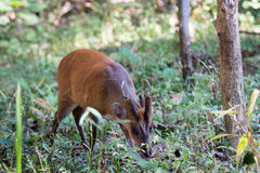 Muntjac deer grazing Royalty Free Stock Photography