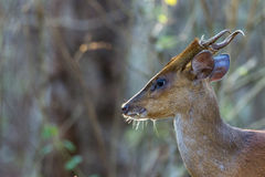 Muntjac deer head shot Stock Images