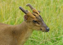 Muntjac deer with his tongue out Stock Photo