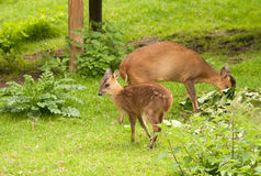 Muntjac deer with mother Royalty Free Stock Photography