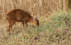 A Muntjac Deer Muntiacus reevesi feeding at the edge of woodland. A pretty Muntjac Deer Muntiacus reevesi feeding at the edge of woodland Royalty Free Stock Photos