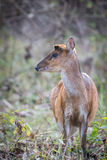 Muntjac deer portrait Royalty Free Stock Images