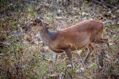 Muntjac deer portrait Stock Photography