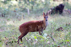 Muntjac deer profile Stock Image