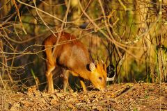 Muntjac Deer searching for food. royalty free stock photo