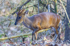 Muntjac deer side view Stock Photo