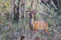 Muntjac deer on a sunny day Royalty Free Stock Photo
