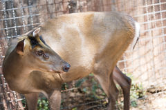 Muntjac Royalty Free Stock Photography