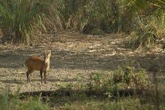 Muntjac in het Nationale Park van Leren riempha Phum Stock Afbeelding