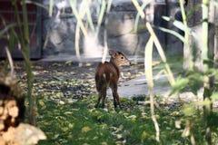 Muntjac hjortar Royaltyfri Fotografi