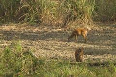 Muntjac i den läderremPha Phum nationalparken Arkivfoton