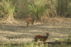 Muntjac i den läderremPha Phum nationalparken Royaltyfri Fotografi
