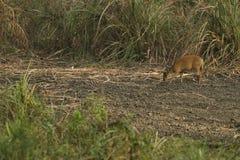 Muntjac i den läderremPha Phum nationalparken Royaltyfria Foton