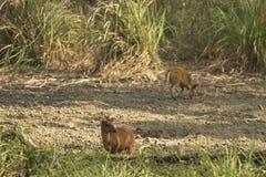 Muntjac i den läderremPha Phum nationalparken Arkivbild