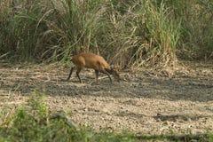 Muntjac i den läderremPha Phum nationalparken Arkivbilder