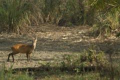 Muntjac i den läderremPha Phum nationalparken Royaltyfri Bild