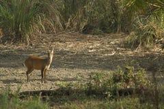 Muntjac i den läderremPha Phum nationalparken Royaltyfri Foto