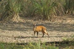 Muntjac i den läderremPha Phum nationalparken Royaltyfria Bilder