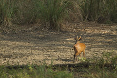 Muntjac i den läderremPha Phum nationalparken Fotografering för Bildbyråer