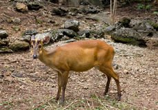 Muntjac indiano Fotografia de Stock Royalty Free