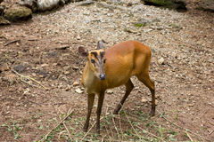 Muntjac indiano Fotos de Stock Royalty Free