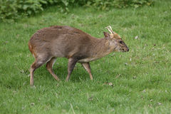 Muntjac, Muntiacus reevesi. Male on grass Stock Photos