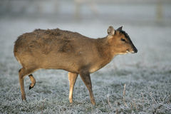 Muntjac, Muntiacus reevesi. Single deer in frost, Midlands Stock Photography