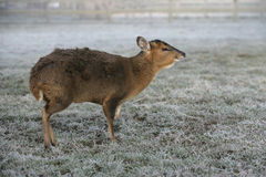 Muntjac, Muntiacus reevesi. Single deer in frost, Midlands Stock Images