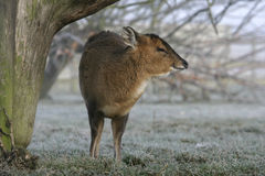 Muntjac, Muntiacus reevesi Royalty Free Stock Photos
