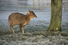 Muntjac, Muntiacus reevesi. Single deer in frost, Midlands Stock Photos