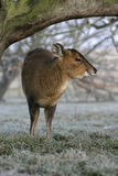 Muntjac, Muntiacus reevesi Stock Photography