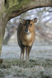Muntjac, Muntiacus reevesi. Single deer in frost, Midlands Royalty Free Stock Photo