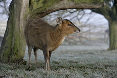 Muntjac, Muntiacus reevesi. Single deer in frost, Midlands Royalty Free Stock Photos