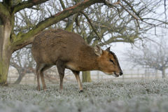 Muntjac, Muntiacus reevesi Royalty Free Stock Photo