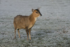 Muntjac, Muntiacus reevesi. Single deer in frost, Midlands Royalty Free Stock Photography