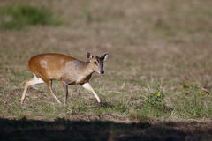 Muntjac, Muntiacus reevesi,. Single mammal on field, Warwickshire, July 2014 Stock Image